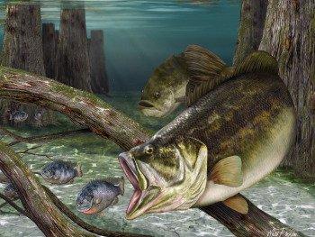 Bass art, bass chasing bluegills fine art print
