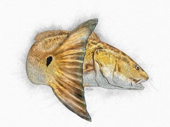 Redfish artwork sketch prints