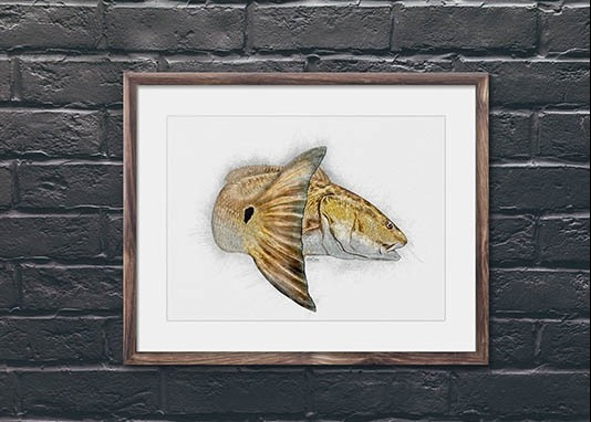 Redfish sketch available for framing