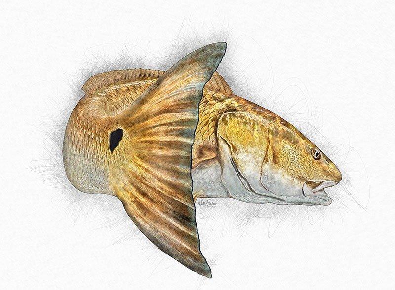 Redfish artwork sketch prints