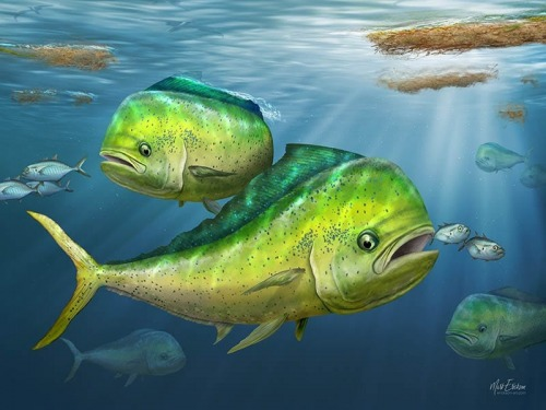 Mahi Mahi open edition fine art prints