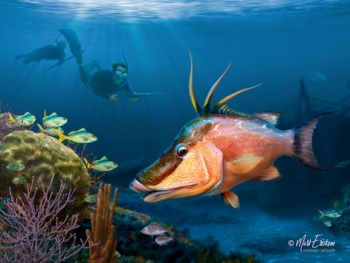 Hogfish fine art print gift for hogfish spearfisherman