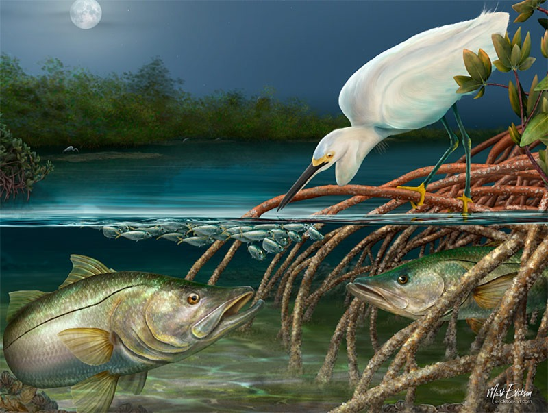 A snowy egret fishing while a snook ambushes baitfish by moon light