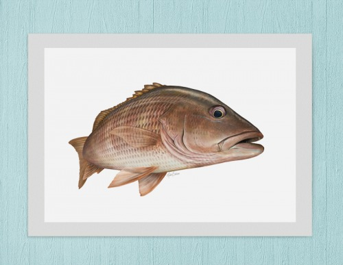 mangrove snapper art Florida