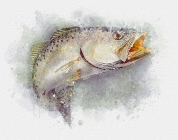 Speckled trout watercolor art gift for fisherman